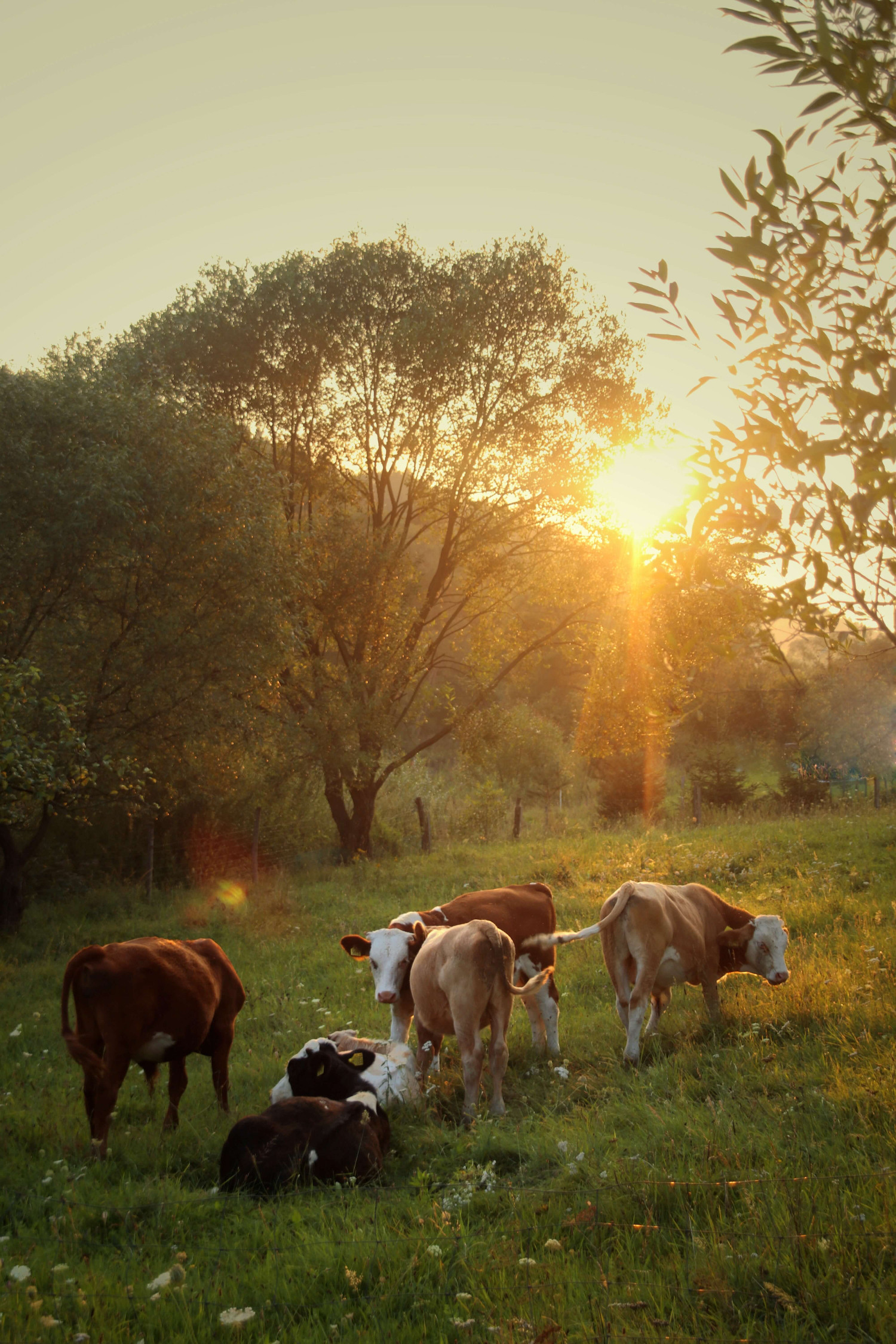cows in field at sunrise